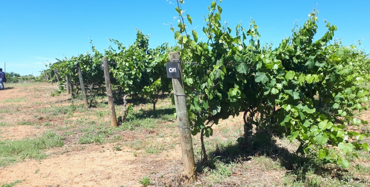 La parcel·la de vinya del Parc Agrari és l'única que està conreada ara mateix/ Karen Madrid