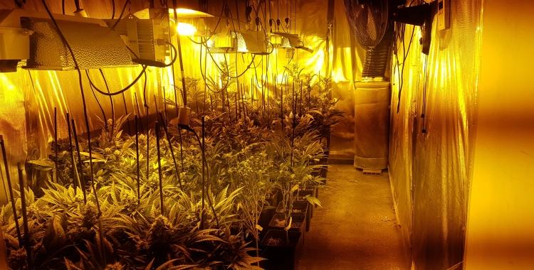 Imatge de les plantes cultivades a la nau industrial de Rubí/ Mossos d'Esquadra