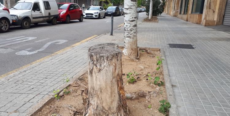 Un dels arbres que se substituiran al carrer Arimon/ Karen Madrid
