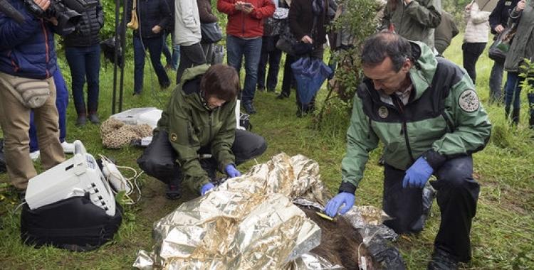 Investigadors de la UAB preparant un exemplar de senglar per administrar-li la vacuna | ACN
