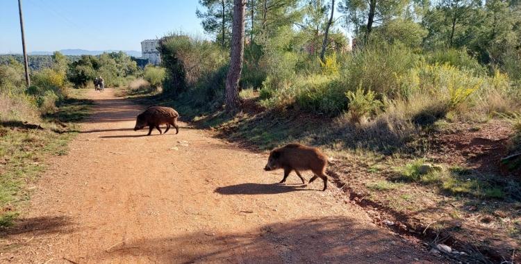 Els senglars cada cop s'apropen més a les zones urbanes