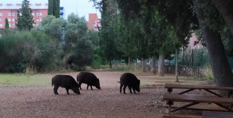 Senglars al terme municipal de Sabadell, a la zona de Can Deu   Cedida
