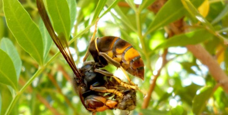 Una vespa velotina devorant una abella | ACN