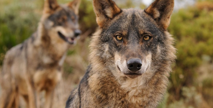Exemplars de llop ibèric   Ana Retamero / WWF