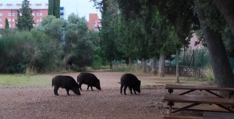Els caçadors desconeixen qui està fent les batudes excepcionals de senglars a Sabadell | Arxiu
