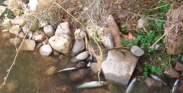 L'excés de pluja afecta els peixos del Ripolla l'altura de Sant Vicenç de Jonqueres | Sabadell en Comú