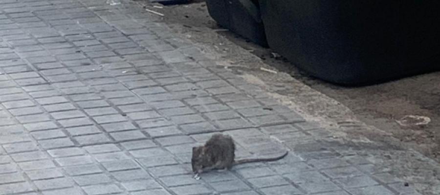 Una rata als carrers de Sabadell/ Arxiu