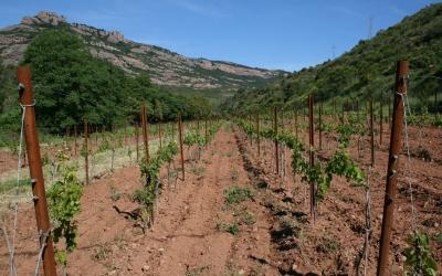 Les vinyes de la Muntada | ccvo