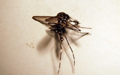 Un mosquit tigre vist des del microscopi | ACN