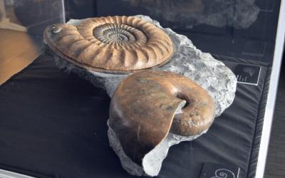 Imatge d'un dels fòssils que es poden veure a la mostra de l'ICP/ ICP