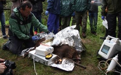 Imatge de la primera vacunació de senglars al Parc Natural de Sant Llorenç del Munt/ ACN
