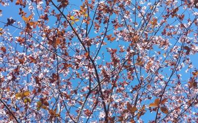 Floració en un arbre de la plaça de Ricard Simó | Pau Duran