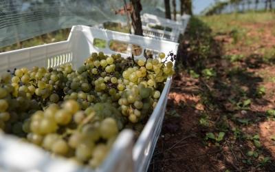 Raïm de les vinyes de Can Gambús, preparades per la verema | Roger Benet