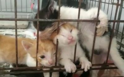 Una de les ventrades de gats que han arribat a la Protectora/ Protectora de Sabadell