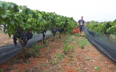 Verema a la vinya del Parc Agrari, aquest matí/ Karen Madrid