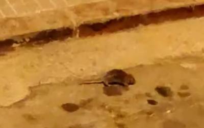 Foto d'una rata a Can Puiggener/ Cedida