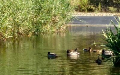 La flora i fauna del Ripoll ha millorat en els últims deu anys/ ADENC
