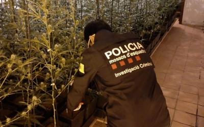 Imatge d'un agent dels mossos en una de les plantacions desmantellades | @mossos