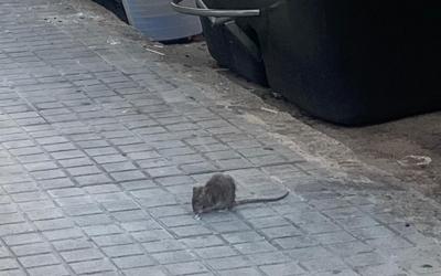 Una rata pels carrers de Sabadell aquest 2020 | Mireia Sans