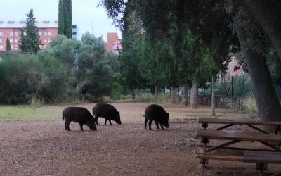 Senglars al terme municipal de Sabadell, a la zona de Can Deu | Cedida
