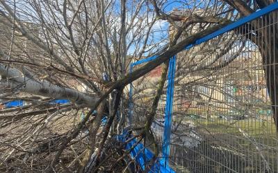 Un arbre caigut als Merinals/ Cedida