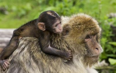 Imatge d'un macaco/ Cedida ICP
