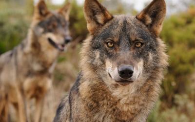 Exemplars de llop ibèric | Ana Retamero / WWF