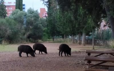 Els caçadors desconeixen qui està fent les batudes excepcionals de senglars a Sabadell   Arxiu
