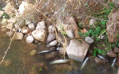 L'excés de pluja afecta els peixos del Ripolla l'altura de Sant Vicenç de Jonqueres   Sabadell en Comú