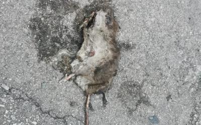 Una rata morta al carrer | Cedida